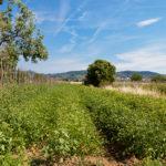 Campo coltivato con pomodori biologici