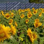 Pannelli solari e Girasoli