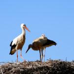 Cicogne ne nido