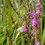 Particolare fiore al Biolago di Sasso Pisano